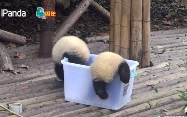 Нелепые падения панд соединили в одном видео