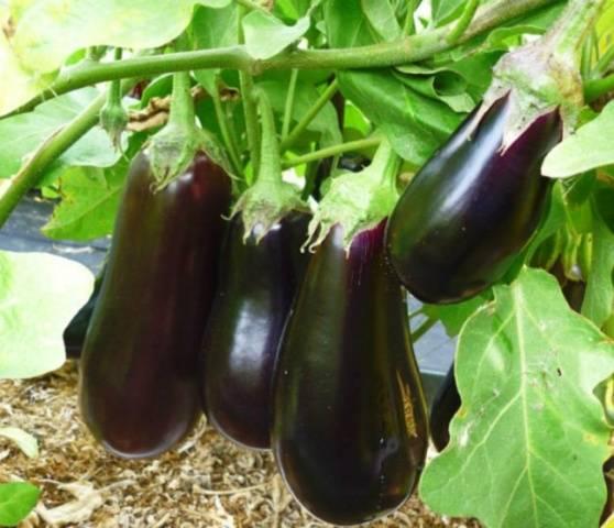Якісне насіння баклажанів за доступною ціною