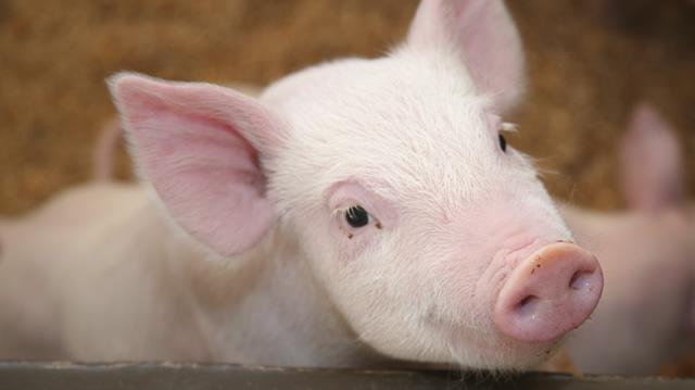 Рентабельность бизнеса по свиноводству